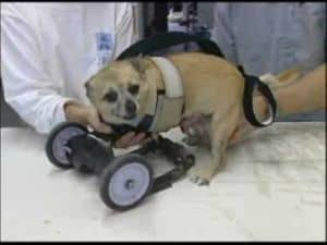 Prosthetics Help Pets Balance Life - Chagrin Falls Veterinary Center ...