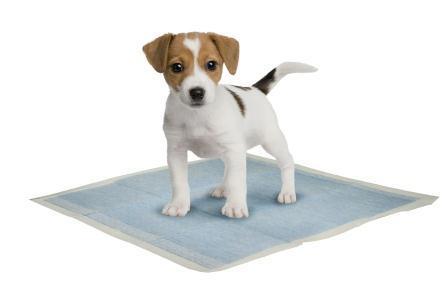 Housebreaking puppy