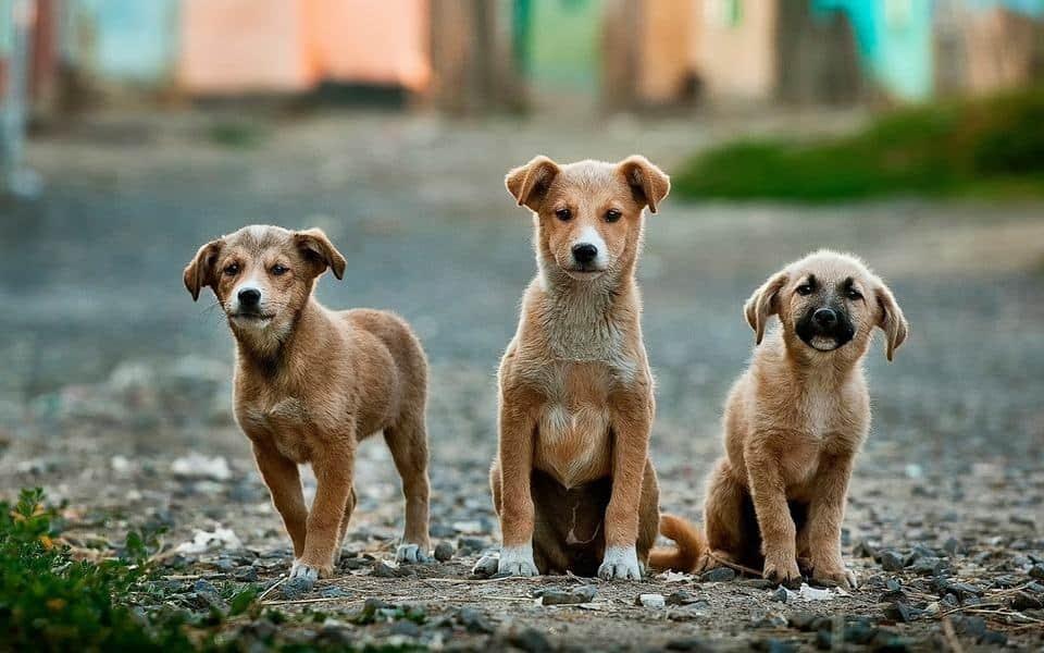 lymphosarcoma in dogs
