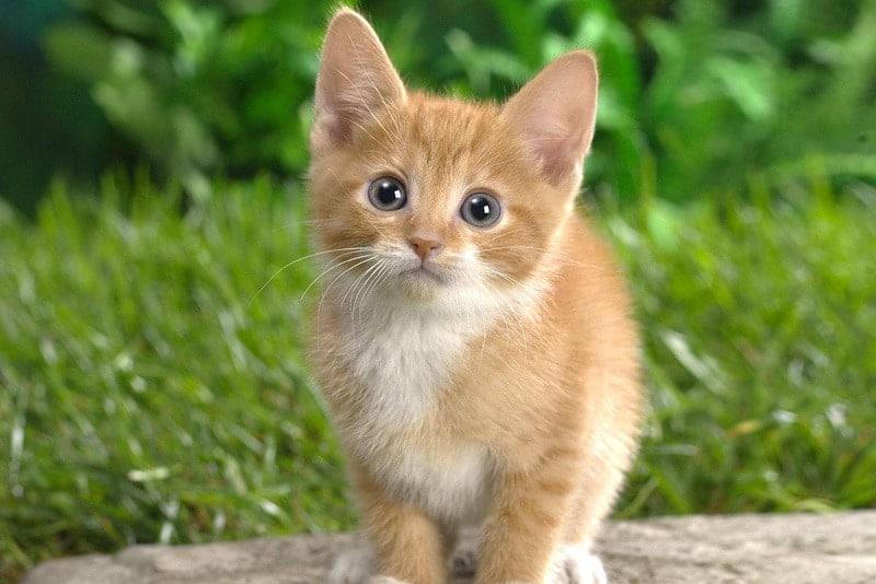 Cat Eyelid