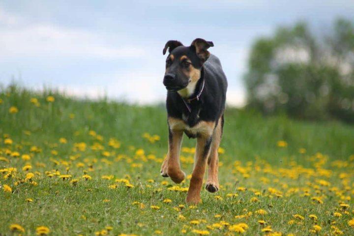 Canine Zinc Toxicity
