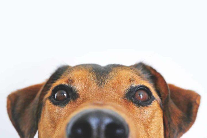 Peanut Sniffing Dog Saves Girls Life