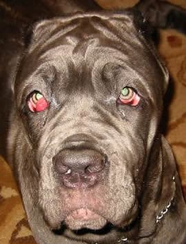 cherry eye dog ointment