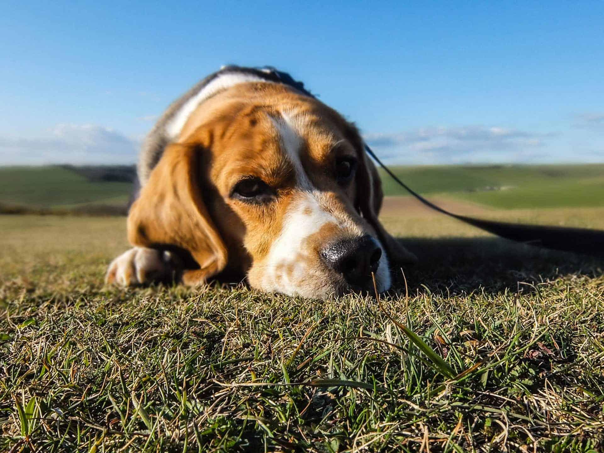Dog Seizures & Canine Epilepsy