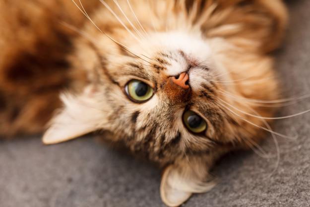 Cat Kidney Problems & Feline Kidney Disease