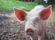 Is a Pet Pig a Health Hazard?
