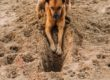 Why Do Dogs Eat Dirt and Rocks?